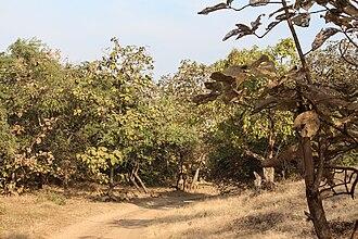 Gir National Park - Teak trees