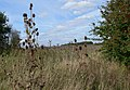 Teasel growing next to The Grimmer - geograph.org.uk - 973676.jpg