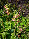 Tellima grandiflora 2007-06-02 (flower)