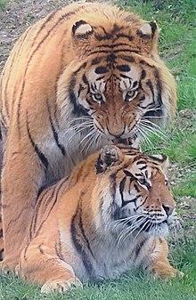 Tigres Hybrides dans TIGRE 220px-Tender_Season.