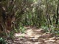 Teneriffa - Nordost - Wanderung durch den Lorbeerwald am Cruz de la Carmen - panoramio (4).jpg