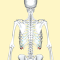 Tenth costal cartilage posterior2.png
