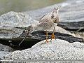 Terek Sandpiper (Xenus cinereus) (43460831210).jpg