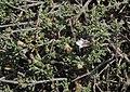 Teucrium brevifolium 2 RF.jpg