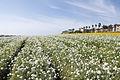 The Flower Fields at Carlsbad Ranch 92 2014-04-28.jpg