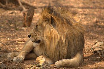 The Lion-Mysore Zoo.jpg