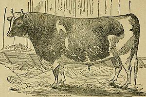 Alderney cattle - Alderney bull