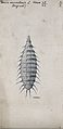 The larva of the lesser house fly Fannia canicularis. Drawin Wellcome V0022578EL.jpg