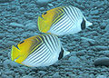 Threadfin Butterflyfish.jpg