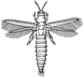 Thrips (PSF).png