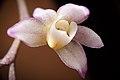 Thrixspermum saruwatarii (Hayata) Schltr., Repert. Spec. Nov. Regni Veg. Beih. 4 275 (1919) (40016613344).jpg