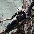 Tián Tián (甜甜) sitting on branches.jpg
