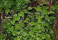 Tiarella polyphylla (Mount Haku).JPG