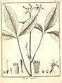 Ticorea foetida Aublet 1775 pl 277.jpg