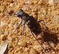 Tiger Beetle. Cicindela sp. (C. hybrida^) - Flickr - gailhampshire.jpg