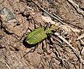Tiger beetle. Cicindela campestris - Flickr - gailhampshire (1).jpg