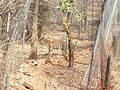 Tiger image44.jpg