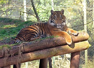 Paignton Zoo - A tiger in the Forest habitat