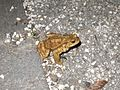 Toad about to cross the street at night.jpg