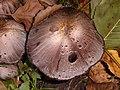 Toadstools - geograph.org.uk - 64911.jpg