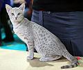 Topspot La Colombina (Liina) OCI c 24 female kitten EX1.JPG