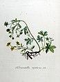 Tormentilla reptans — Flora Batava — Volume v8.jpg