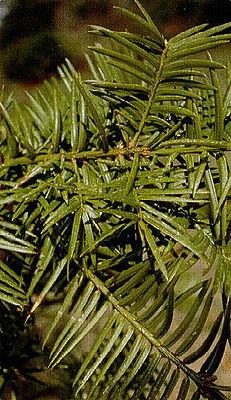Florida nut slice (Torreya taxifolia)