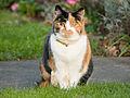 Tortoiseshell cat (11879721116).jpg