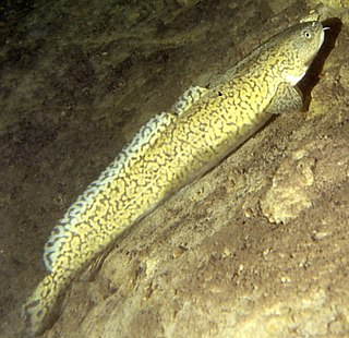 Burbot species of fish