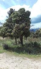 Tree near the Manzanares.jpg