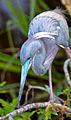 Tricolor heron by Bonnie Gruenberg.jpg