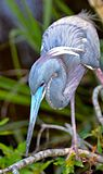 Tricolor heron by Bonnie Gruenberg.jpg