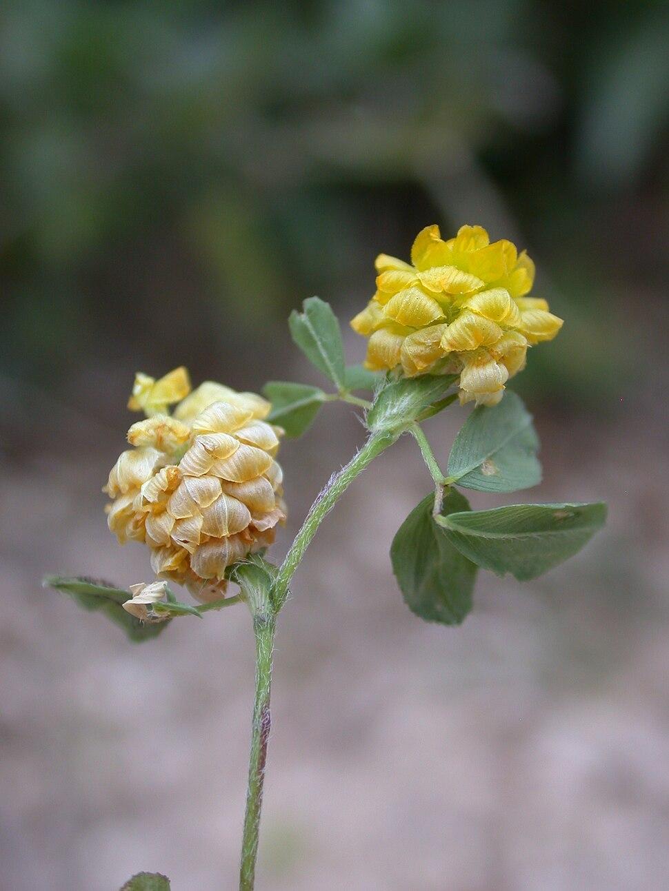 Trifolium campestre 1