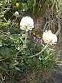 Trifolium pratense var frigidum.JPG