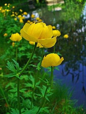 Buila-Vânturarița National Park - Image: Trollius europaeus 002