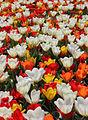 Tulips in a garden.jpg