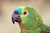 Turquoise-fronted amazon (Amazona aestiva) head.JPG