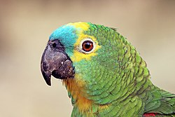Turquoise-fronted amazon (Amazona aestiva) head.JPG