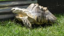 File:Turtle Rescue Long Island - Sulcata tortoise.webm