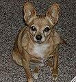 Twigs the Chihuahua (2002).jpg
