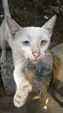 oddeyed cat wikipedia the free encyclopedia