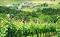 Txakoli vinyards - panoramio.jpg