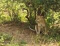 Uganda Murchison-Falls-Lion.jpg