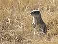 Uinta ground squirrel on Seedskadee National Wildlife Refuge (27826262528).jpg