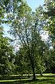 Ulmus 'Plantyn', SHHG.jpg