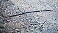 Unidentified Snake (14840041198).jpg