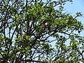 Unidentified tree and flower in Eswatini (2).jpg