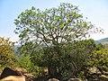 Unidentified tree in Eswatini.jpg