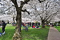 University of Washington Quad cherry blossoms 2014 - 09 (13347973995).jpg