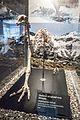 Upland moa skeleton, Otago Museum, 2016-01-29-2.jpg